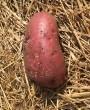 fiche-pomme-de-terre-tubercule-270x330
